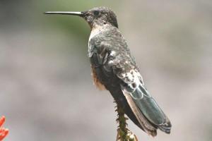 colibri-canyon-colca
