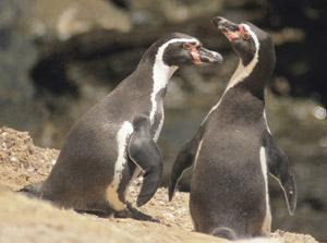 Voyage et Tourisme au Pérou – Manchots de Humboldt, îles Ballestas, Paracas, Pérou