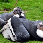 Le Condor : roi des ciels andins