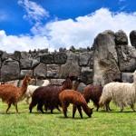 Les camélidés andins: lamas, alpaga, vigogne, guanaco